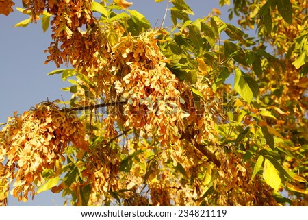 Acer Negundo Tree Stock Photo Edit Now 234821119 Shutterstock