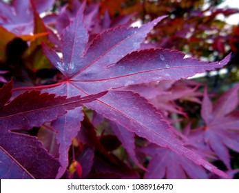 Acer palmatum Bloodgood - Japanese red maple leaf, colorful beautiful nature. Belgrade, Serbia, Europe