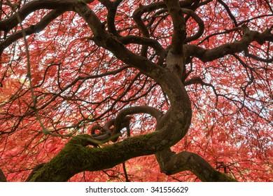 Acer Palmatum Dissectum Atropurpureum Images Stock Photos Vectors