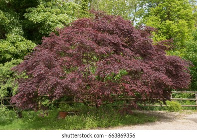 Acer palmatum 'Dissectum' (Cut Leaved Japanese Maple) in a Country Cottage Garden in Rural Devon, England, UK