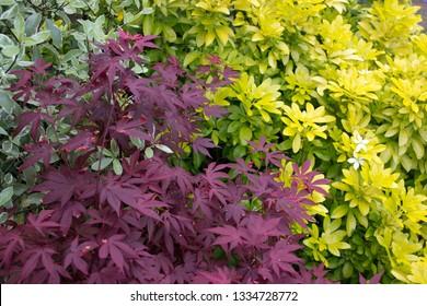 Acer palmatum f. atropurpureum Japanese Maple Choisya ternata Sundance Mexican Orange Pittosporum tenuifolium variegatum  Black Matipo