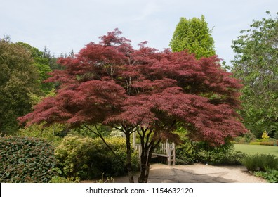 Acer palmatum (Japanese Maple Tree) in a Country Cottage Garden in Rural Devon, England, UK