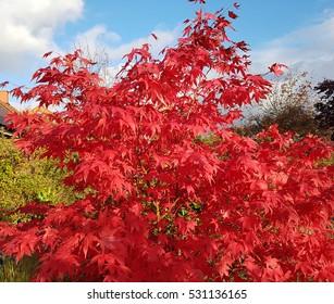 Acer, palmatum, Osakazuki, japonicum; Japanese