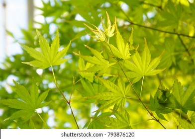 Acer palmatum or palmate maple or japanese maple or smooth japanese-maple green foliage