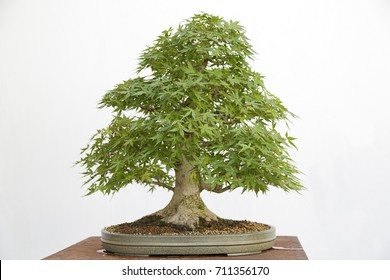 Acer palmatum yamamomiji bonsai on a wooden table and white background