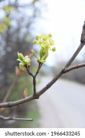 Acer platanoides blooming young spring yeallow flowers before the leaves