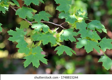 Acer platanoides branch with leaves and fruit