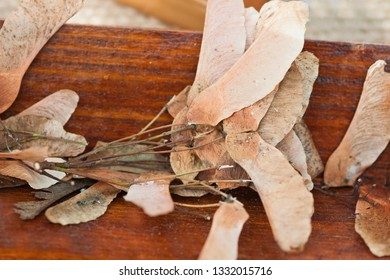 Acer platanoides known as Norway maple, is a species from Europe and Asia (France, Russia, Scandinavia and Iran) It was brought to North America in the mid-1700s as a shade tree. (lychee family).