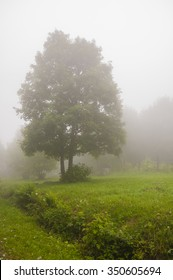 Acer Pseudoplatanus (Sycamore Maple) in th Fog
