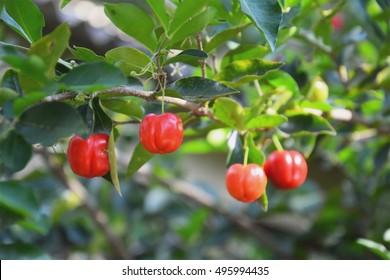 Acerola cherry on the tree