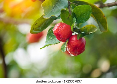 Acerola cherry on the tree with water drop, High vitamin C and antioxidant fruits. Fresh organic Acerola cherry on the tree.