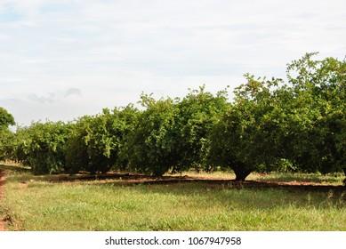 the acerola cherrys