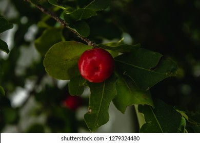 Acerola Close up /Acerola cherry - Acerola small cherry fruit on the tree. Acerola cherry is high vitamin C and antioxidant fruits. Selective focus Malpighia emarginata Close up - Immagine