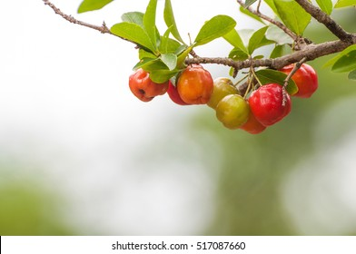 Acerola fruit hanging from branches