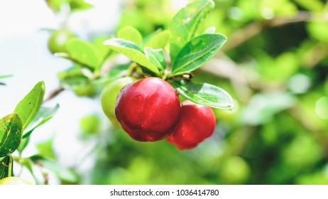 Acerola fruit on the tree branch. Fruit from Brazil.