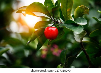 Acerola small cherry fruit on the tree
