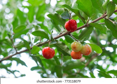Acerola small cherry fruit on the tree. Acerola cherry is high vitamin C and antioxidant fruits. Selective focus