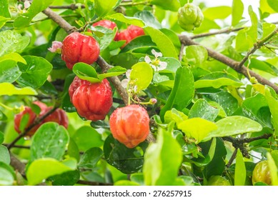 acerola tree and fruit
