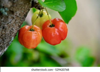 Acerole tree and fruit on blur background, A tree of the West Indies and Northern South America, Malpighia Galbra.