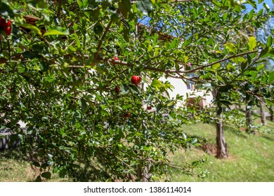 Aceroleira, acerola, cherry-tree, Antillean cherry, a small fruit and ornamental shrub, The fruit has many nutritional properties, fibers, vitamins, antioxidants, free radicals.