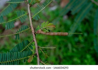 Achaea janata Linnaeus. Castor semi-looper