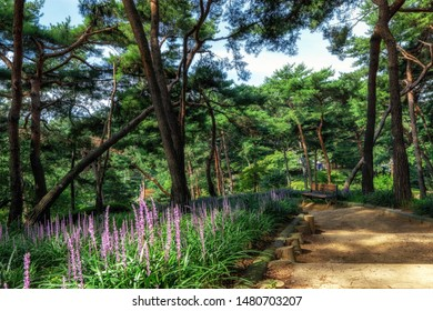 achasan ecological park pine tree forest with broadleaf liriope blooming. Taken in Seoul, South Korea