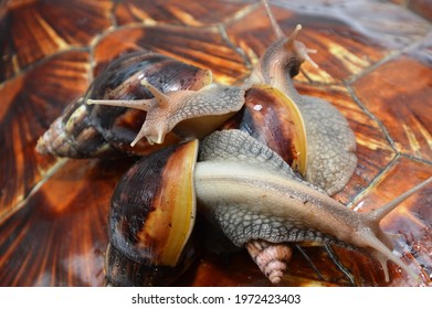 achatina, achatina fulica, african, animal, antenna, background, beautiful, brown, clam, close-up, closeup, edible, environment, eyes, food, fresh, fulica, funny, garden, gastropods, giant, grass, gre