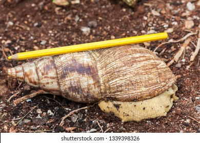 Achatina fulica - the giant African land snail with a yellow pencil on the back to show the shell length (about 17 - 18 cm). It is found on the Zanzibar Island, Tanzania