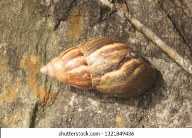Achatina fulica, an invasive species of large land snail, family Achatinidae. Also known as giant African snail or giant African land snail considered a significant cause pest issues around the world