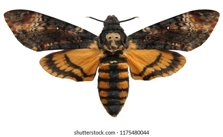 Achatina moth butterfly moth's head