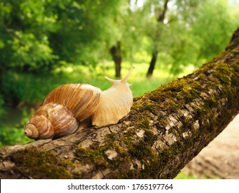 Achatina snail with antennae eyes sits on a moss-covered tree and looks forward. Back view. Brown shell, snail in the natural nature. Slow clam in motion.