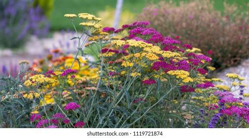 Achillea glaberrima red perennial plant used in landscape design