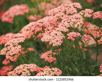 Achillea millefolium 'Apricot Delight' in full bloom. Blooming Yarrow.