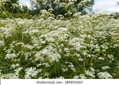 Achillea millefolium or common yarrow. Wild flowers in the meadow.