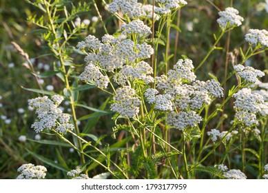 Achillea millefolia, fils communs fleurs blanches dans une prairie mise au point sélective