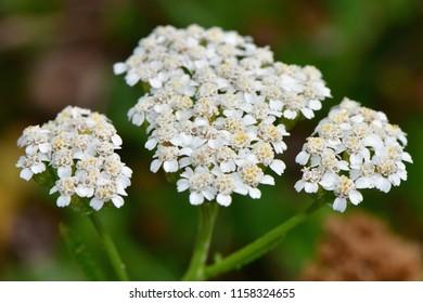 Achillea millefolium, commonly known as common yarrow