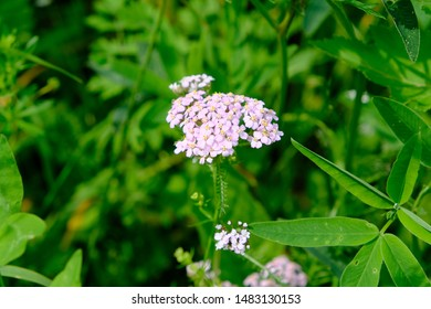 Achillea millefolium, commonly known as yarrow or common yarrow is a flowering plant in the family Asteraceae. Ural region, Russia.