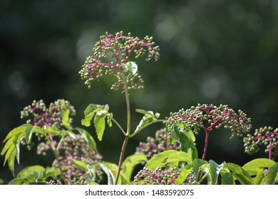 Achillea millefolium, commonly known as yarrow or common yarrow is a flowering plant in the family Asteraceae.