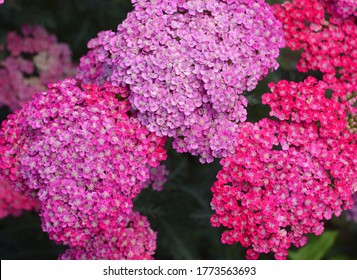 Achillea millefolium, commonly known as  yarrow or common yarrow, is a flowering plant in the family Asteraceae. It is native to temperate regions of the Northern Hemisphere in Asia and Europe