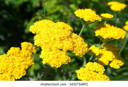 Achillea millefolium plant topped by flat, bright gold flower heads close up. Common names yarrow, common yarrow, golden yarrow.