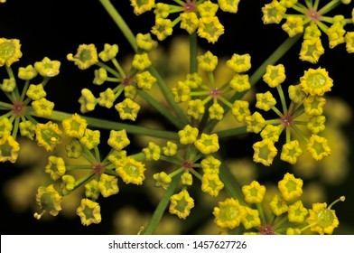 Achillea millefolium plant topped by flat, bright yellow flower heads. Common names yarrow, common yarrow. Selective focus. Close-up photo, shallow depth of field, blured background.