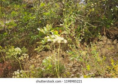 Achillea millefolium plant with white flowers (Marche, Italy, Europe)