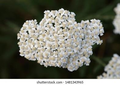 Achillea millefolium (yarrow) belongs to the Asteraceae family, Greece