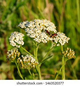 Achillea millefolium or yarrow or Common yarrow. Bright beetles mating on white yarrow flowers at summertime. Insects reproduce in wild nature. Selective focus