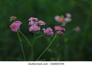 Achillea millefolium or yarrow or Common yarrow and  butterfly. Close-up on a pink yarrow plant in bloom.