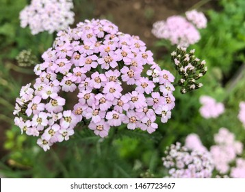 Achillea millefolium or yarrow or Common yarrow.  Close-up on a white yarrow plant in bloom (other yarrow visible behind). medicinal plant