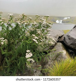 Achillea millefolium (yarrow, common yarrow) flowering plant in Vesturland, Iceland.