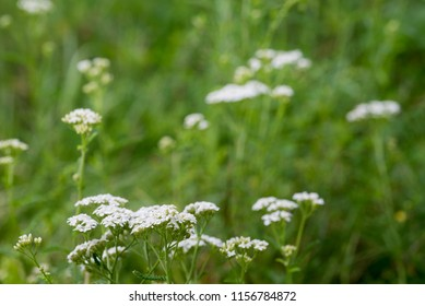 Achillea millefolium, yarrow, common yarrow flowers macro selective focus