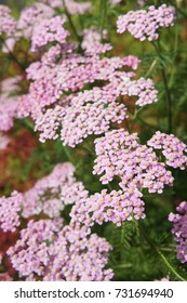 Achillea millefolium or yarrow pink flowers close up