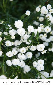 Achillea ptarmica ballerina many white flowers with green leaves
